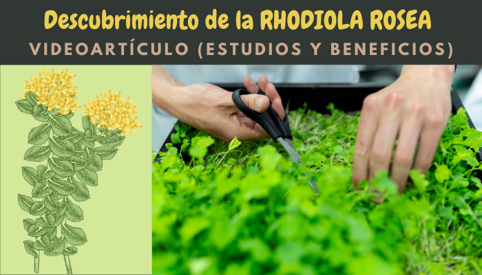 Descubrimiento Rhodiola Rosea